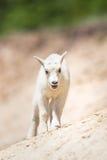 Oreamnos de chèvre de montagne américanus Photographie stock libre de droits