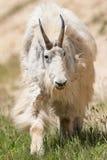 Oreamnos de chèvre de montagne américanus Photo stock