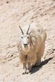 Oreamnos de chèvre de montagne américanus Images libres de droits