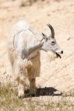 Oreamnos de chèvre de montagne américanus Images stock