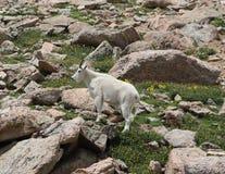 Oreamnos de chèvre de montagne américanus sur le Mt Evans, le Colorado Photos stock