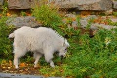 Oreamnos de chèvre de montagne américanus, également connu comme chèvre de Rocky Mountain gosse Image stock