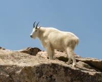 Oreamnos de chèvre de montagne américanus contre un ciel bleu dans le Colorado Photos stock