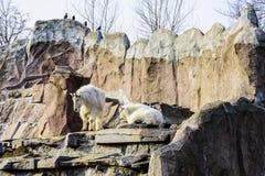Oreamnos latino dos mamíferos fender-hoofed das cabras da neve americano no jardim zoológico de Moscou Rússia imagem de stock royalty free