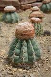 Oreas Miqu мелокактуса, кактус растут в песке Стоковые Изображения RF