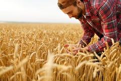 Orecchie barbute sorridenti della tenuta dell'uomo di grano su un fondo un giacimento di grano Cure felici dell'agricoltore dell' Immagini Stock