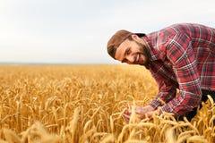 Orecchie barbute sorridenti della tenuta dell'uomo di grano su un fondo un giacimento di grano Cure felici dell'agricoltore dell' Fotografia Stock Libera da Diritti