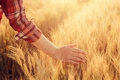 Orecchie commoventi del raccolto del grano dell'agricoltore femminile nel campo Fotografie Stock