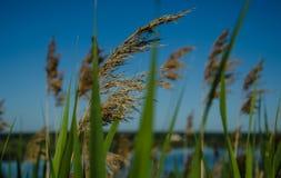 Orecchie con erba contro il cielo Fotografia Stock