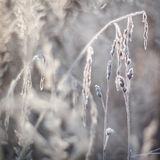 Orecchie congelate, piante Natura in inverno Fotografie Stock