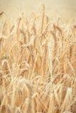 Orecchie d'annata di maturazione, della foto di grano o giacimento della segale, concetto di agricoltura Immagini Stock