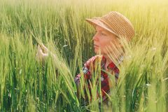 Orecchie d'esame del grano dell'agricoltore femminile nel campo Immagine Stock