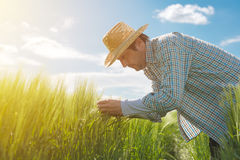 Orecchie d'esame del grano dell'agricoltore nel campo Fotografie Stock Libere da Diritti