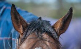 Orecchie dei cavalli Immagini Stock