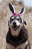 Orecchie dei coniglietti di pasqua Fotografie Stock