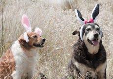 Orecchie dei coniglietti di pasqua Immagine Stock