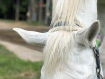 Orecchie del cavallo fotografie stock