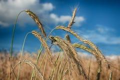 Orecchie del cereale contro il cielo Immagine Stock Libera da Diritti