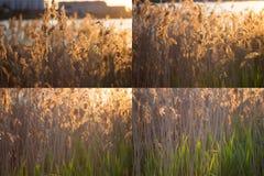 Orecchie del collage di cereale Immagini Stock Libere da Diritti