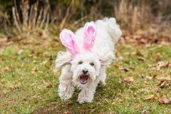 Orecchie del coniglietto del seguace servile fotografie stock