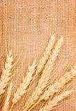 Orecchie del frumento Immagini Stock