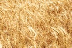 Orecchie del frumento. fotografia stock libera da diritti