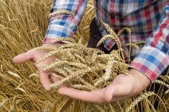 Orecchie del frumento nella mano immagine stock libera da diritti