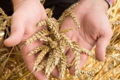 Orecchie del frumento nella mano fotografia stock libera da diritti