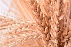 Orecchie del grano Fotografia Stock