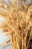 Orecchie del grano fotografie stock