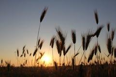 Orecchie del grano Fotografia Stock Libera da Diritti