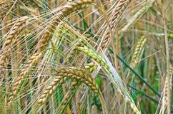 Orecchie del grano Fotografie Stock Libere da Diritti
