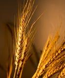 Orecchie del grano alla luce dorata immagini stock