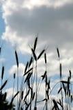 Orecchie del grano contro cielo blu Fotografie Stock Libere da Diritti