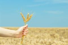 Orecchie del grano della tenuta della mano sul giacimento di grano Fotografia Stock