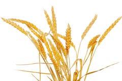Orecchie del grano isolate su fondo bianco Fotografia Stock