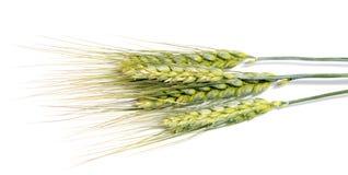 Orecchie del grano isolate su fondo bianco come progettazione di pacchetto Immagini Stock Libere da Diritti