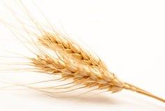 Orecchie del grano isolate su un bianco Fotografia Stock Libera da Diritti