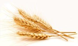 Orecchie del grano isolate su un bianco Fotografia Stock