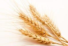 Orecchie del grano isolate su un bianco Fotografie Stock Libere da Diritti
