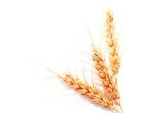 Orecchie del grano isolate su un fondo bianco Fotografie Stock Libere da Diritti