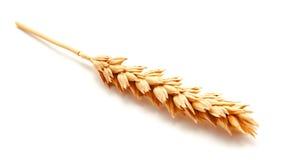 Orecchie del grano isolate su un fondo bianco Immagine Stock Libera da Diritti
