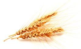 Orecchie del grano isolate su un fondo bianco Fotografia Stock