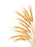 Orecchie del grano isolate sui precedenti bianchi Fotografia Stock