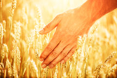Orecchie del grano in mano del ` s dell'uomo Concetto della raccolta Fotografie Stock Libere da Diritti