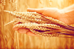 Orecchie del grano in mano del ` s dell'uomo raccolta Fotografie Stock