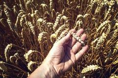 Orecchie del grano in mano dell'agricoltore Fotografie Stock Libere da Diritti