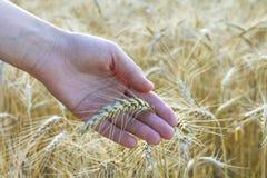 Orecchie del grano in mano del ` s della donna Campo sul tramonto o sull'alba raccolta Immagine Stock Libera da Diritti
