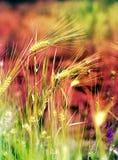Orecchie del grano nel campo Immagine Stock