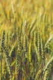 Orecchie del grano nel campo Fotografia Stock